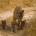 Experience Wildlife Safari with India Tiger Tours