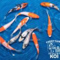 "6"" GIN RIN SPECIAL LOT OF 3 JAPANESE IMPORTED LIVE KOI FISH"