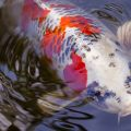 WHY KOI BLOODLINES ARE SO IMPORTANT