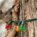 OMG, Squirrels Eating Your Christmas Lights?